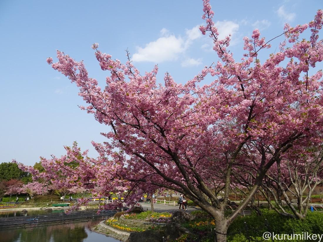 河津桜の木