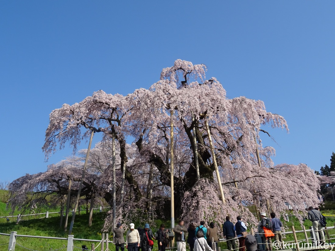 三春の滝桜(正面)