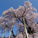 2015福島の桜①〜三春の滝桜〜