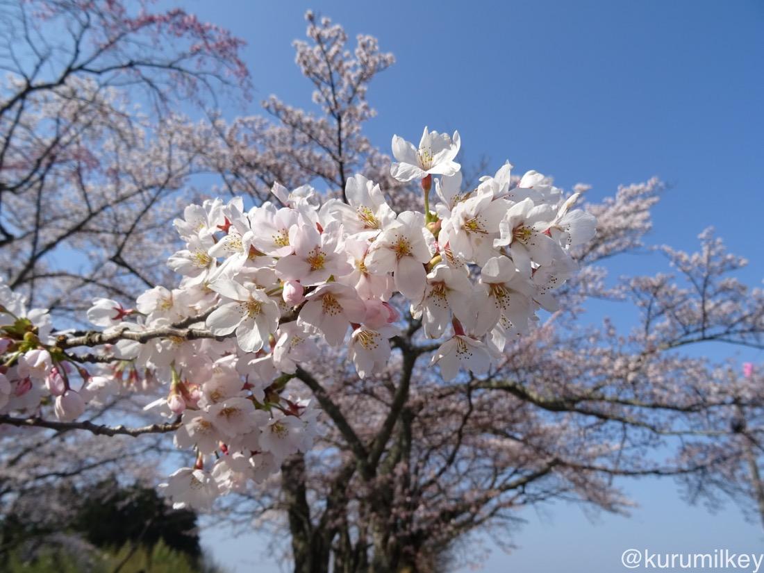丘の上の桜