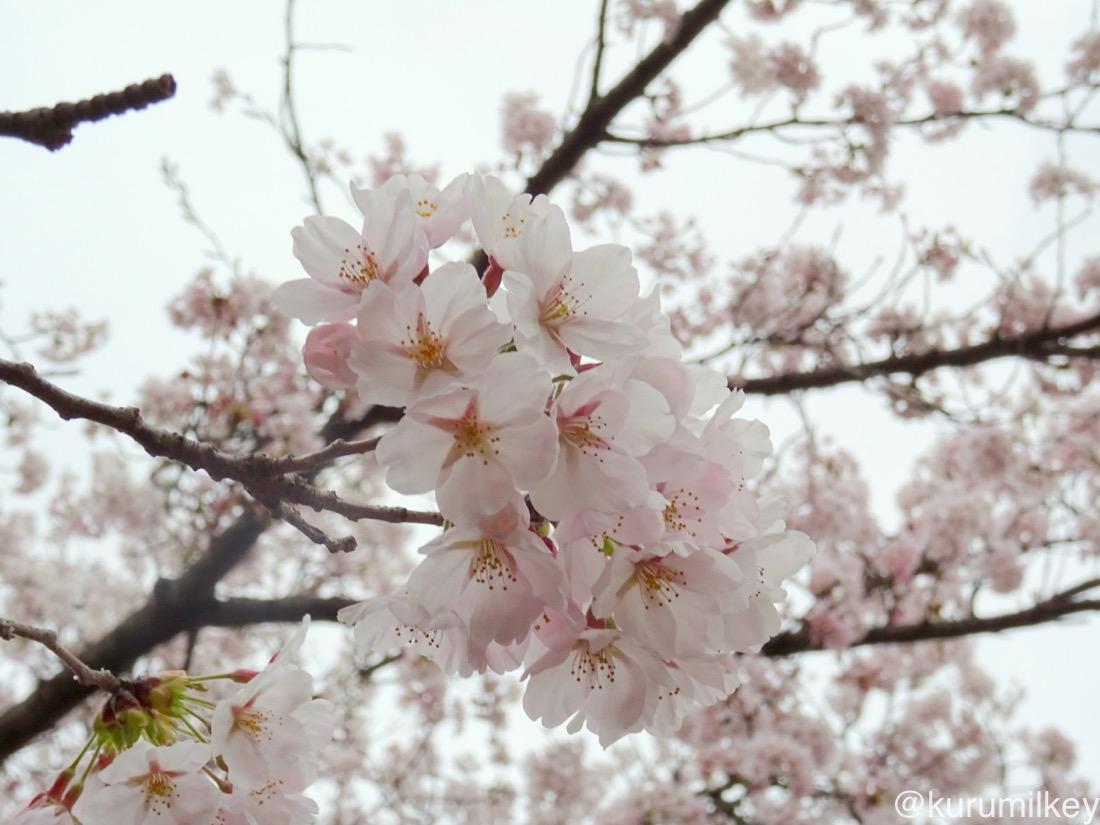 桜を寄りで