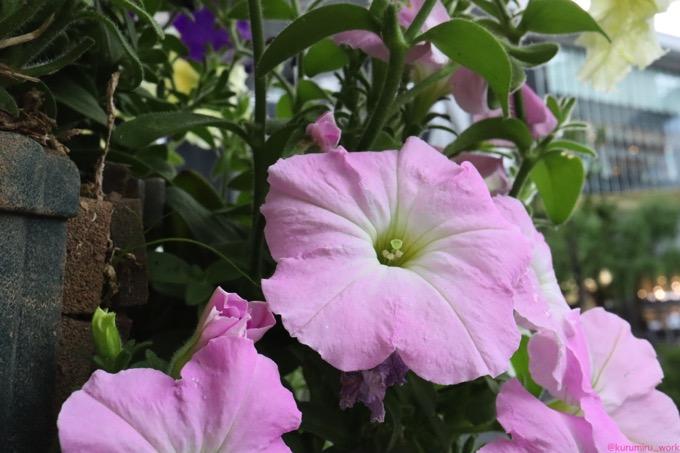 花壇ピンク